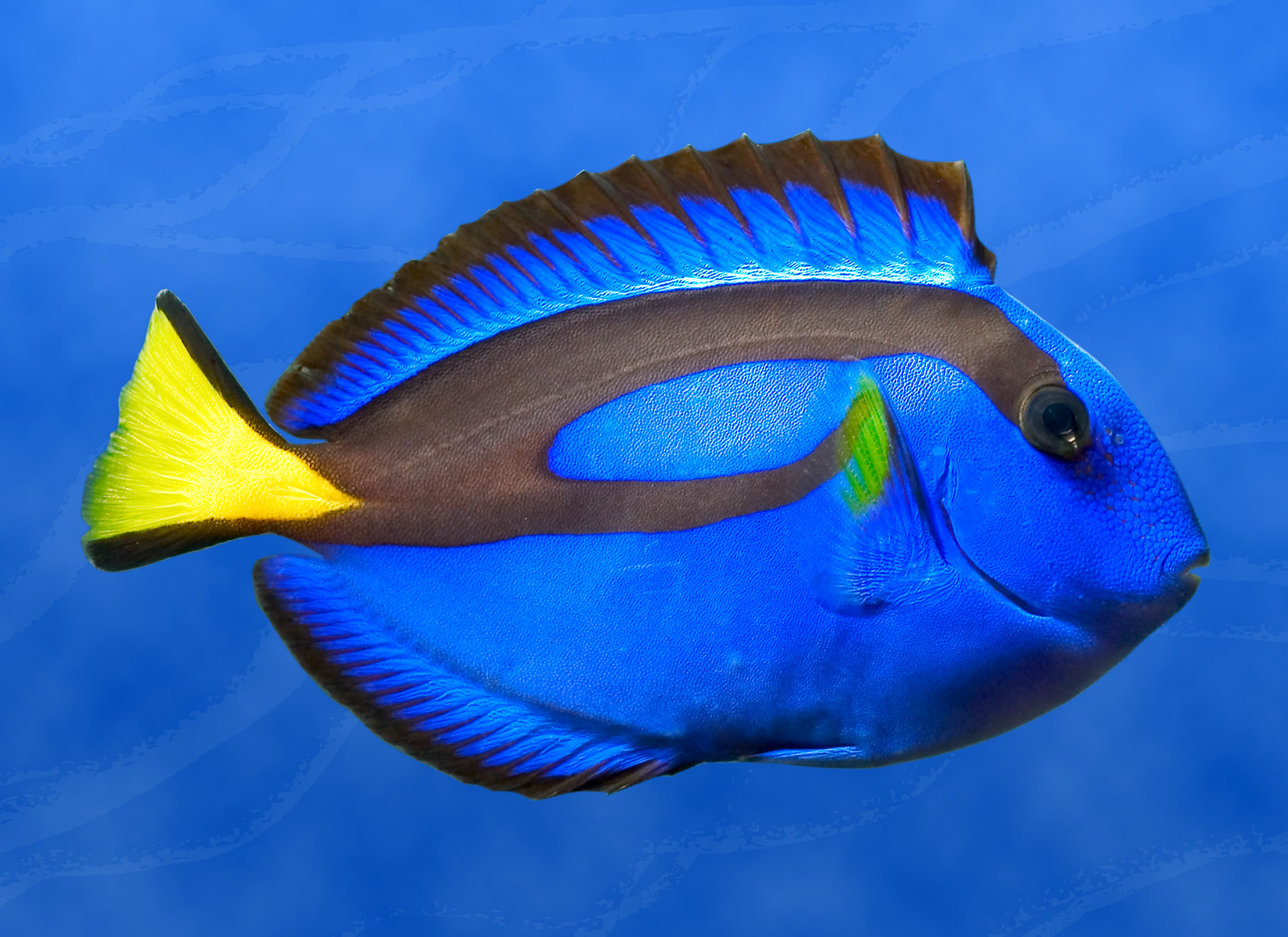 Pin blue tang fish on pinterest for Blue clown fish